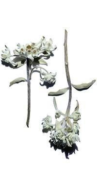 Organic Edelweiss